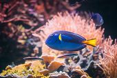 Blue Tang Fish Paracanthurus Hepatus Swimming In Water. Popular Fish In Marine Aquarium, Needs A Lar poster