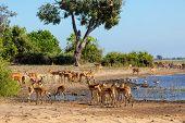 Drinking Herd Of Impala In Chobe River, Botswana Africa Safari Wildlife, Typical Nature Scene poster