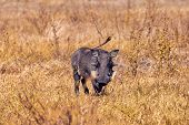African Pig Warthog In Chobe Game Reserve Savannah, Botswana Africa Safari Wildlife poster
