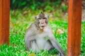 A Wild Monkey Or Ape In The Zoo Or Jungle In Phu Quoc Zoo, Vietnam. poster