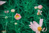 Pink Cosmos Flower Blooming In The Field, Beautiful Cosmos Flowers In Garden. poster