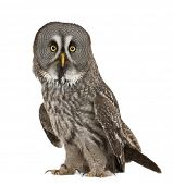 Portrait of Great Grey Owl or Lapland Owl, Strix nebulosa, a very large owl, standing in front of wh