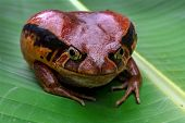 Tomatofrog, One Of The Bigger Amphibians In Madagascar poster