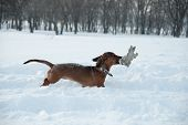Young Red-haired Dachshund Runs And Plays With A Toy In Deep Snow In A Park, Red Dachshund In A Snow poster