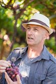 Agricultural Checking Quality Wine Grapes In Vineyard. Winemaker Examining Grapes. Traditional Winer poster