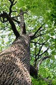 The Trunk And Branches Of An Old Oak Tree Viewed From Below. Crown Of An Old Oak. Very Old Oak Again poster