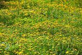 Meadow With Lots Of Blooming Dandelions