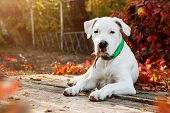 Dogo Argentino Lies And Looking At The Camera In Autumn Park Near Red Leaves. Canine Background poster