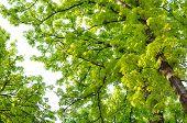 Horse Chestnut (Conker) Trees