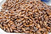 foto of maggot  - Fried silk worm is the food of the natives of northern Thailand - JPG