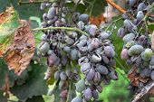 Bunches Of Grapes Affected By Powdery Mildew Or Oidium With Yellow Leaves. Rotten Grapes Affected By poster