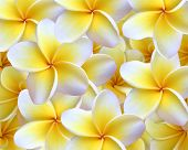 foto of plumeria flower  - Beautiful yellow and white plumeria which are used to make leis in Hawaii - JPG