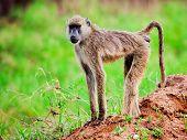 Baboon monkey in African bush. Safari in Tsavo West, Kenya
