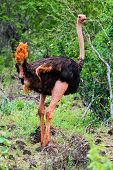 Ostrich in bush in Africa. Safari in Tsavo West, Kenya
