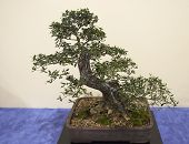 foto of bonsai tree  - bonsai plant - JPG