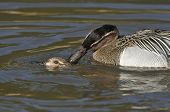 Garganey Ducks mating