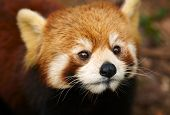 stock photo of pandas  - The Red Panda - JPG
