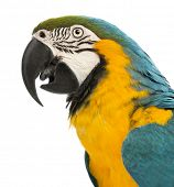 Side view close-up of a Blue-and-yellow Macaw, Ara ararauna, 30 years old, in front of white background