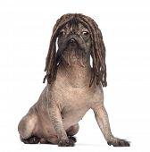 Постер, плакат: Голая собака смешанных породы смесь между французский бульдог и Китайская хохлатая собака сидя и ношения