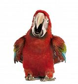 Green-winged Macaw, Ara chloropterus, 1 year old, calling in front of white background