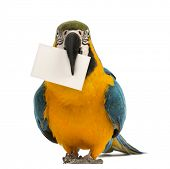 Blue-and-yellow Macaw, Ara ararauna, 30 years old, holding a white card in its beak in front of whit