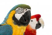 Close-up of a Blue-and-yellow Macaw, Ara ararauna, 30 years old, and Green-winged Macaw, Ara chlorop