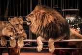 Gorgeous roaring lion and two lioness on circus arena