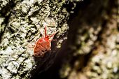 picture of mites  - Closeup detail of a red velvet mite - JPG