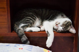 stock photo of playmate  - Siamese cat sleeping on a box of wood bed - JPG