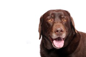 picture of gentle giant  - A Happy Chocolate Lab Smiling for the Camera - JPG
