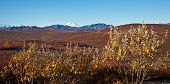 picture of denali national park  - Denali rises above autumn colors in Alaska - JPG