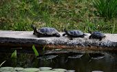 Pseudemys Concinna. Group Of Aquatic Turtles Warming On The Sun