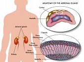 stock photo of hormones  - medical illustration of anatomy of adrenal gland - JPG