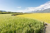 Rural scenery of Hualien with paddy farm and mountain faraway, Taiwan, Asia.