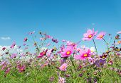 image of cosmos flowers  - This is a photo of cosmos flowers.