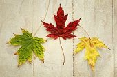 Three maple leaf with three different colors on a wood background vintage
