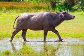 stock photo of female buffalo  - Buffalo in wildlife - JPG