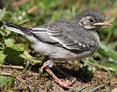 nestling birds Wagtail.