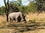 Large Rhino Grazing The Grass In Zimbabwe