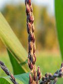 stock photo of zea  - male flower corn in farm field close up - JPG