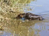 hunting dog in pond