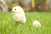 Easter chicken and egg on green grass