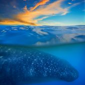 Whale shark below