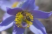 Bee Climbs And Pollinate Pulsatilla Flower