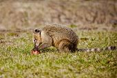 stock photo of coatimundi  - coati eating an apple outdoors in spring - JPG
