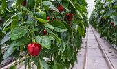 picture of hydroponics  - Hydroponic cultivation of Red Peppers or Capsicum annuum in a Dutch greenhouse - JPG