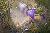Blooming crocus in the grass with sunlight