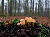Hypholoma Mushrooms