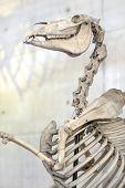 Horse Skeleton. Anatomic exhibit. Bones.
