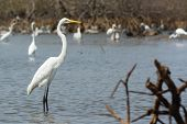 Great White Egret Posing Before Many Wading Shore Birds